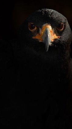 "The Indian Black Eagle ""Ictinaetus malayensis"" like all eagles, is in the family Accipitridae, but is the only member of the genus Ictinaetus. It breeds primariy in tropical Asia. by Another Timothy Love Birds, Beautiful Birds, Animals Beautiful, Cute Animals, Wild Animals, Black Animals, Stunningly Beautiful, Beautiful Pictures, Eagles"