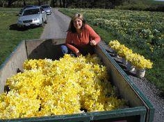 Daffodils ready for bunching.