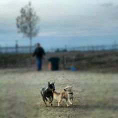 blue heeler border collie mix puppies for sale | Zoe Fans ...