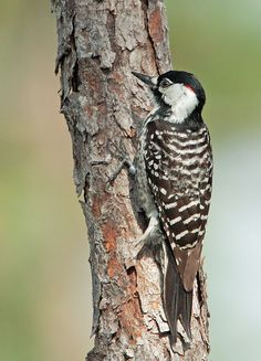 Red-cockaded Woodpecker found in South Carolina