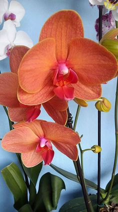How to care for orchids? Click and watch the video. - How to care for orchids? Click and watch the video. Moth Orchid, Orchid Plants, Orchid Care, Orchid Flowers, Cactus Flower, Purple Flowers, Rare Flowers, Exotic Flowers, Beautiful Flowers