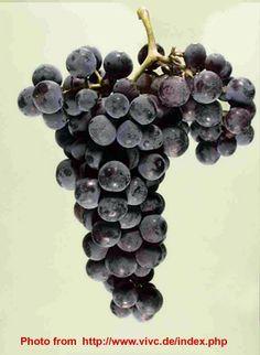 Serbian local indigenous grape varieties PROKUPAC