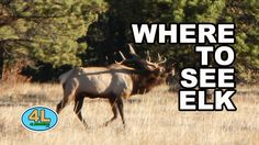 Where to see elk (if camping or hiking in Rocky Mountains) Camping Outdoors, Mountain S, Elk, Rocky Mountains, Mammals, Backpacking, Hiking, Adventure, Cats