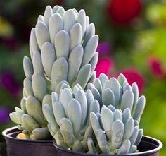 Echeveria Elegans Blue | Succulent Plants for Sale