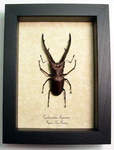 Species:  Cyclommatus imperator Common Name: Stag Beetle Origin: Papua New Guinea Frame size: 6 1/2″ x 5″ Frame Color: Black Wood Frame: Finest Handmade Museum Quality Sealed Shadowbox …