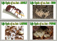 Free Life cycle of an Ant printable posters for display.