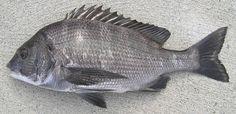 クロダイ - Acanthopagrus schlegelii (Bleeker, 1854)。体色は黒っぽい燻し銀。側線より上の背鰭棘条部中央下の横列鱗数は5.5枚以上で、側線鱗数は48~57枚とされる。若魚までは体側に数... Freshwater Fish, Seafood, Fishing, Foods, Pictures, Pisces, Tatoo, Pictures Of Fish, Sea Food