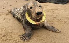 TRAGIC seals are being killed and scarred in horrific numbers by a tidal wave of plastic pollution blighting the seas. story of Frisbee, the grey seal who was left with a plastic play ring cutting into her neck like a fallen halo. Save Planet Earth, Save Our Earth, Love The Earth, Ocean Pollution, Plastic Pollution, Environmental Pollution, Environmental Issues, National Geographic, Norfolk