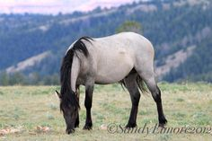 Smoggy   Age: 12  Color:lobo dun  Gender: mare Personality: sweet