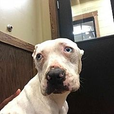 Pictures of Minnie a Pit Bull Terrier for adoption in New York, NY who needs a loving home.