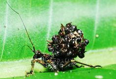 Assassin bug carrying its victim's exoskeletons on its back. It's interesting and unattractive defense, Assassin bugs deceive spiders with their coats of many ant corpses.