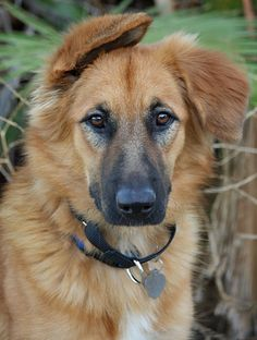 German Shepherd Golden Retriever Mix Omg He Looks Just Like My