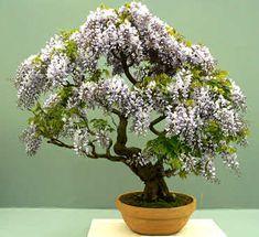 D and I just bought Bonsai trees in a challenge of natural instincts. It's a bonsai off! Bonsai Jacaranda, Wisteria Bonsai, Bonsai Garden, Ikebana, Plantas Bonsai, Bonsai For Beginners, Indoor Bonsai Tree, Belle Plante, Bonsai Seeds
