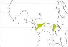 Eastern Wattled Cuckoo-shrike (Campephaga oriolinus)