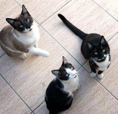 Mis gatos Angel, Rocco y Gucci. My cats.