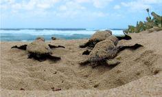 Hatchling sea turtles