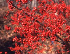 Vibrant red color of the Sparkleberry tree!