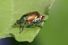 Identify, control, and get rid of Japanese Beetles with these tips from The Old Farmer's Almanac. Garden Insects, Garden Pests, Organic Gardening, Gardening Tips, Vegetable Gardening, Japanese Beetles, Old Farmers Almanac, Garden Guide, Garden Ideas