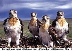 Ferruginous hawk chicks
