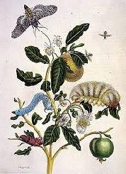 Metamorfosis de los insectos del Surinam - Buscar con Google