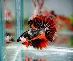 Siamese Fighting Fish - MultiColor Half Moon Betta Splendens