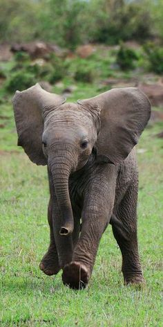 What a happy little elephant this is and it& almost in the air with ex hopping . - Animals We Love To Love - # Elephants Photos, Save The Elephants, Elephant Photography, Animal Photography, Beautiful Creatures, Animals Beautiful, Animals And Pets, Funny Animals, Wild Animals