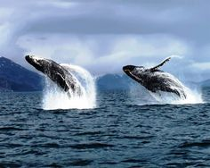 Alaskan Humpback whales near Kodiak Island