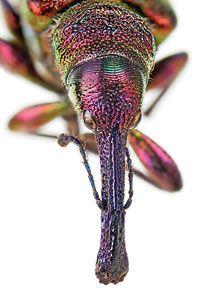 Japanese Pear Weevil or Japanese Apple Curculio or Peach Weevil.  Naughty little bug.