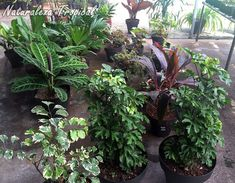Plantas ornamentales en venta con buena salud