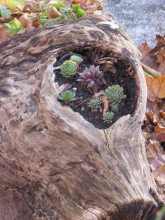 Natural planter in log