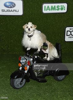 Prince Dudeman the dog arrives at the 2016 World Dog Awards at Barker Hangar on January 9, 2016 in Santa Monica, California.