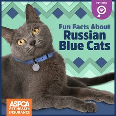If you are looking for a truly unique and beautiful kitten you don't have to look much further than the Russian Blue breed. Delightful Discover The Russian Blue Cats Ideas. I Love Cats, Crazy Cats, Cool Cats, Russian Blue Kitten, Hypoallergenic Cats, Beautiful Kittens, Owning A Cat, Cat Facts, Cat Sitting