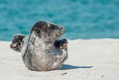 Soñar con focas o lobos marinos no es algo frecuente y se suele relacionar con sueños de carácter positivo. La foca es un animal que realiza sus actividades en el… Free Pictures, Cool Pictures, Monk Seal, Canvas Fabric, Canvas Prints, Canvas Canvas, Wale, North Sea, Animal Wallpaper