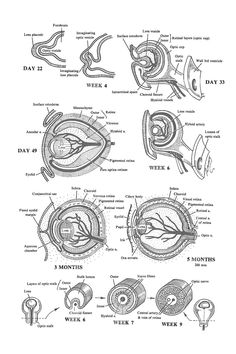 the eye: lens, choroid, sclera, cornea, and optic nerve: image #1