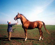 caballo Budyonny