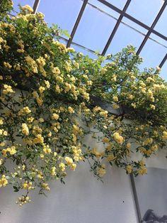 Yellow flower season ♣♣♣