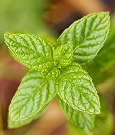 tips on growing spearmint