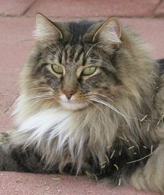 Gorgeous Norwegian Forest cat!