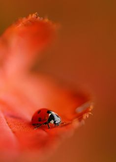 up close and personal - lady bug . Macro Photography, Animal Photography, Photo Animaliere, Fotografia Macro, All Gods Creatures, Shades Of Red, Belle Photo, Beautiful Creatures, Animal Kingdom