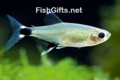 Visit FishGifts.net for more beautiful underwater fish photos