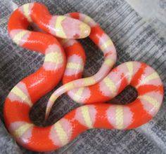 Bulls-eye Albino Nelson's Milk Snake