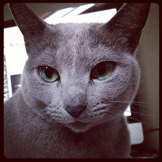 #cat #ロシアンブルー - @trinity_bridal | Webstagram
