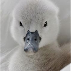 Duckling/NOT! this is a signet a baby swan Beautiful Swan, Beautiful Birds, Animals Beautiful, Mundo Animal, My Animal, Cute Baby Animals, Animals And Pets, Animal Original, Baby Swan