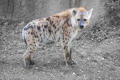 Hyena @ the St. Photo Splash, Hyena, The St, Photography Photos, Polar Bear, St Louis, Pets, Animaux, Animals And Pets