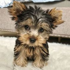 Browse The Widest Most Trusted Source Of Yorkshire Terrier Puppies For Sale Search By Desired Gender Age Yorkshire Terrier Puppies Yorkie Terrier Yorkie Puppy