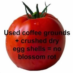 Used coffee grounds + crushed dry egg shells = no blossom end rot