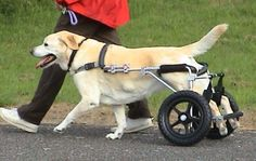 handicap doggie wheel chair | Dog Wheelchair - how to improve your dog's mobility hip problems funny