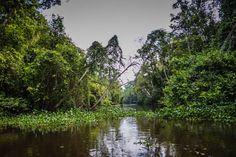 Rainforest Sukau Kinabatangan River Borneo  #jungle #proboscismonkey #kinabatanganriver #borneo #adventure #travel