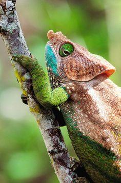 O'Shaughnessy's chameleon (Calumma oshaughnessyi), Madagascar.