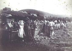 Hop picking New Norfolk, TAS, 1888 Old Time Photos, Tasmania, Norfolk, Continents, My Childhood, Weed, Brewing, Australia, Island